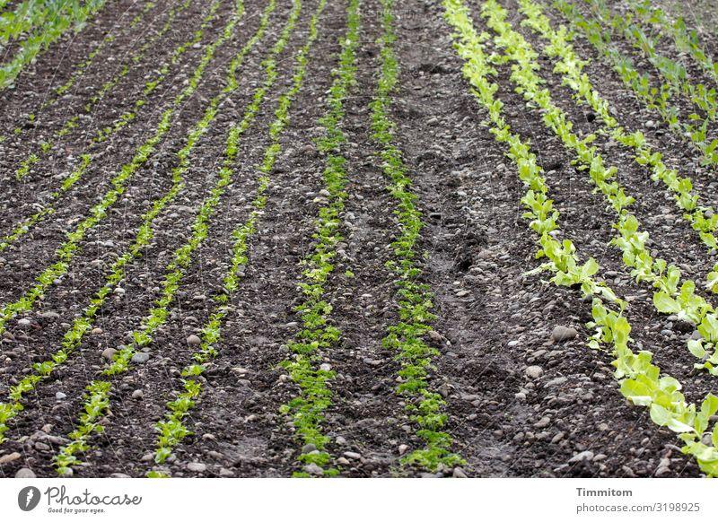 AST 7 | Ergebnisse zählen Lebensmittel Gemüse Salat Salatbeilage Ernährung Umwelt Natur Pflanze Erde Feld Wachstum natürlich grün schwarz Landwirtschaft