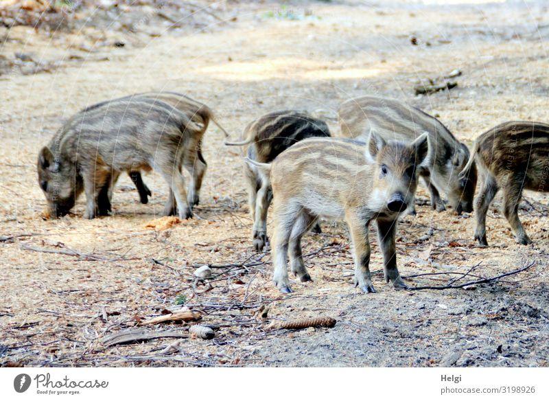 neugierige Frischlinge suchen Futter auf einem Waldweg Umwelt Natur Tier Erde Frühling Schönes Wetter Wildtier Wildschwein Tiergruppe Tierjunges Blick stehen