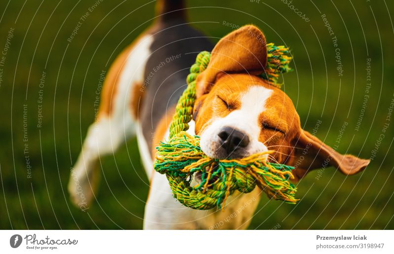 Beagle-Hund springt und rennt mit einem Spielzeug auf die Kamera zu Aktion aktiv Aktivität Beweglichkeit Tier sportlich herbringen Eckzahn niedlich Energie