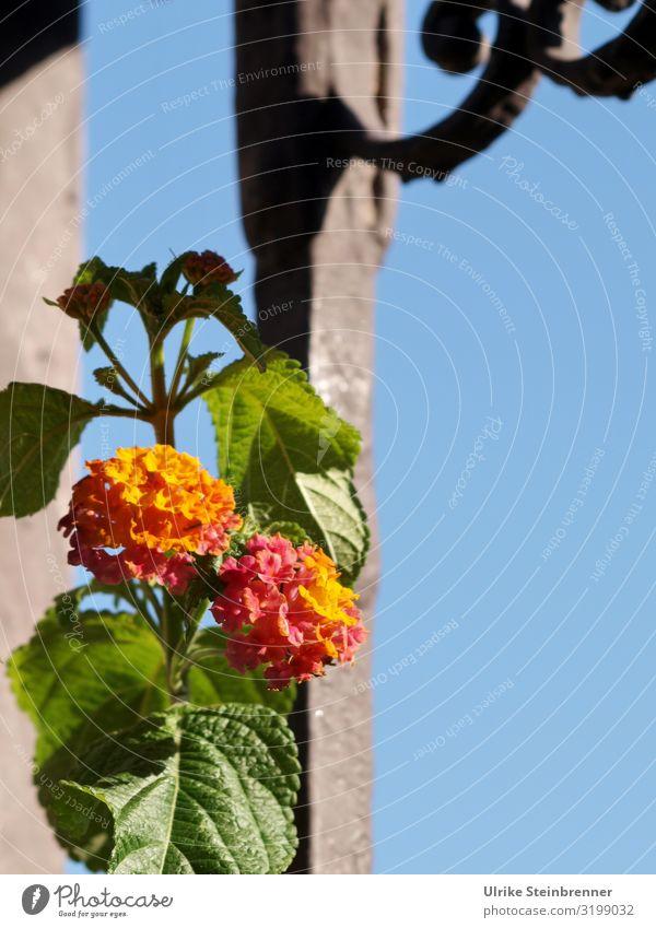 Wandelröschen an schmiedeeeisernem Tor Blüte Blatt Fahne Kletterpflanze Lantana Blütenkrone Garten blühen Eisenkrautgewächs Strauch orange rosa Gartentor