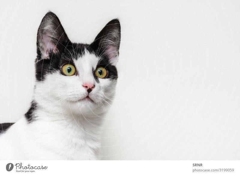 Kätzchen Gesicht Baby Tier kurzhaarig Katze klein niedlich fleischfressend heimisch domestiziert Ohren Auge glücklich Wildkatze Haustier Katzenbaby lügen