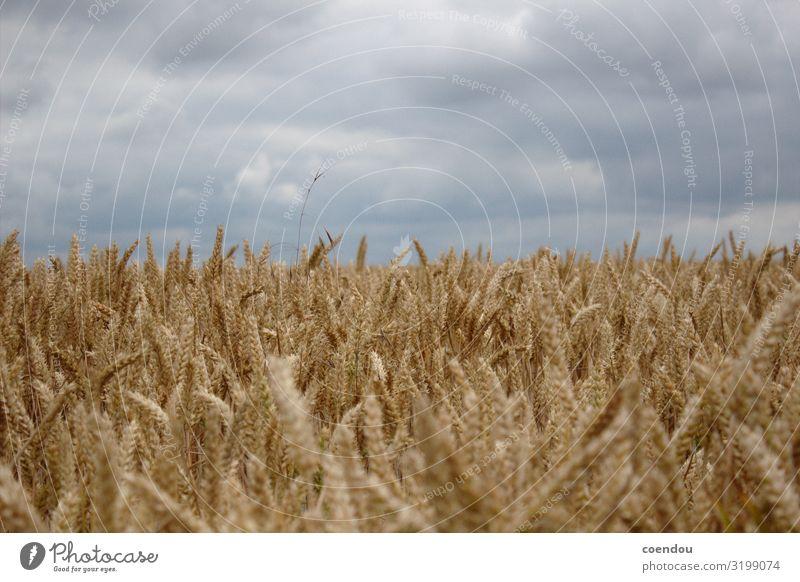 Getreidefeld vor grauen Wolken Lebensmittel Teigwaren Backwaren Brot Kohlenhydrate Ernährung Bioprodukte Vegetarische Ernährung Gesunde Ernährung Allergie