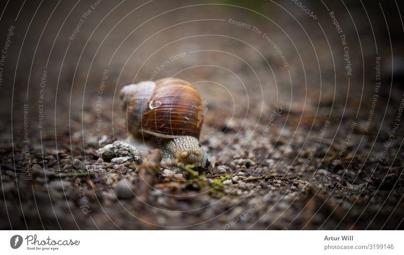 Schnecke im fokus Tier 1 Stein fleißig Abenteuer Zeit Ziel Farbfoto Außenaufnahme Nahaufnahme Detailaufnahme Makroaufnahme Freisteller Tag