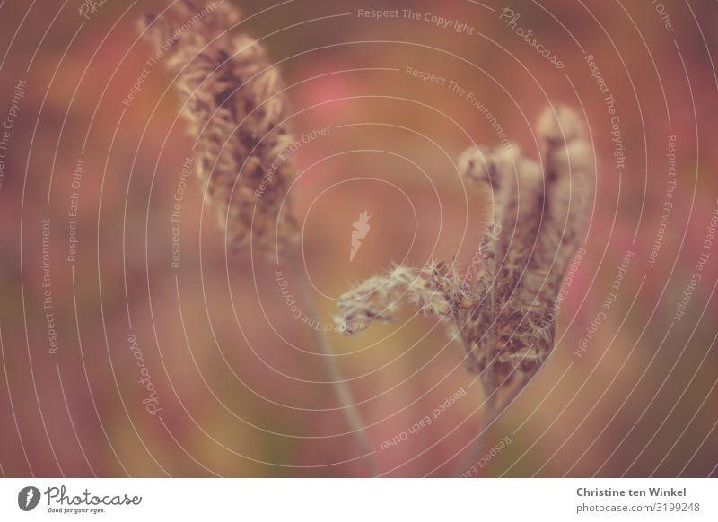 verblühte Phacelia / Bienenfreund Umwelt Natur Pflanze Blume Blüte Gründünger ästhetisch außergewöhnlich nah nachhaltig natürlich schön trocken braun grün rot