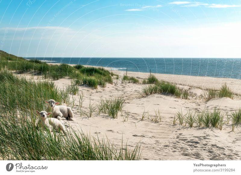 Sommerliche Strandlandschaft mit hohem Gras und Lämmern an der Nordsee Ferien & Urlaub & Reisen Sommerurlaub Sonne Sonnenbad Insel Natur Landschaft Tier Sand