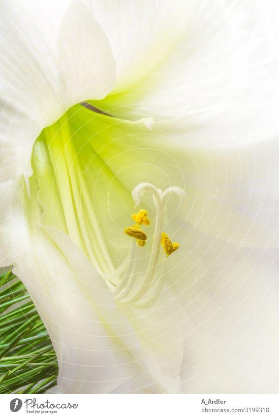 weiße Belladonnalilie (Amaryllis belladonna) Natur Pflanze Blüte exotisch Amaryllisgewächse Lilien Lilienblüte ästhetisch außergewöhnlich elegant frisch