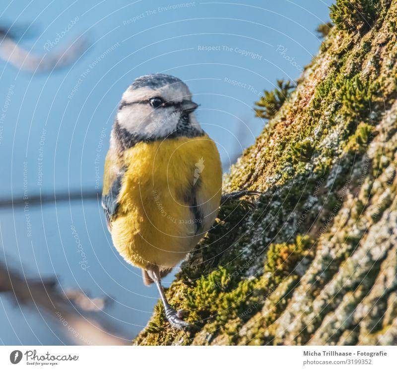 Neugierige Blaumeise am Baumstamm Natur Tier Himmel Sonne Sonnenlicht Schönes Wetter Moos Wildtier Vogel Tiergesicht Flügel Krallen Meisen Kopf Schnabel Auge