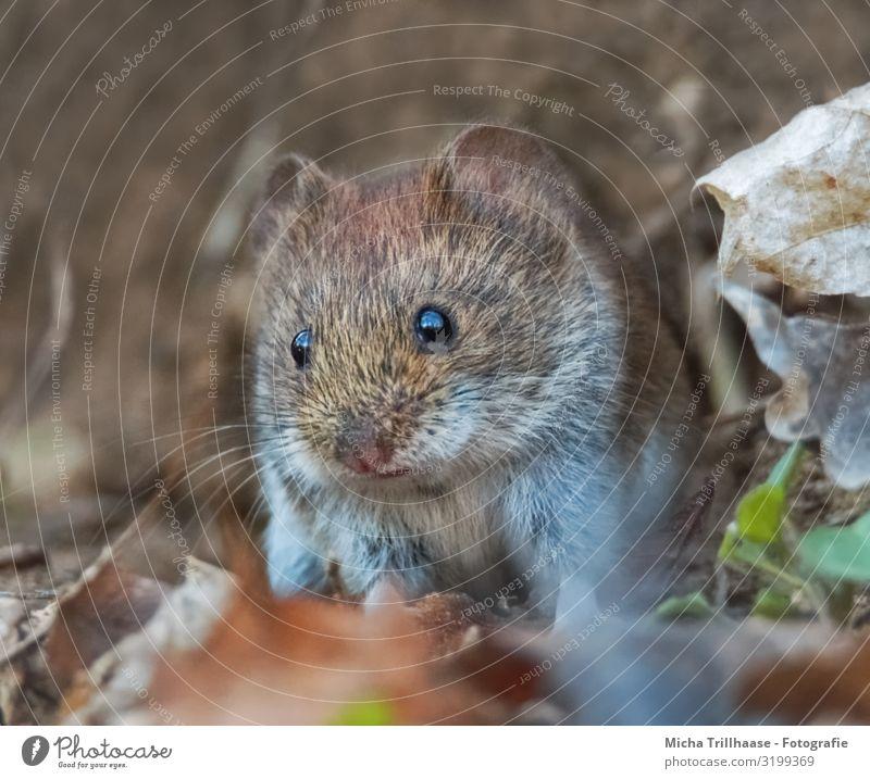 Maus im Wald Natur Tier Sonnenlicht Schönes Wetter Blatt Herbstlaub Zweige u. Äste Wildtier Tiergesicht Fell Rötelmaus Auge Ohr Nase Maul Schnurrhaar 1