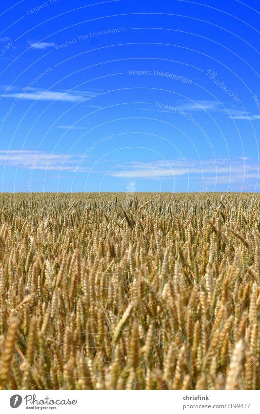 Kornfeld mit blauem Himmel Lebensmittel Getreide Umwelt Natur Landschaft Pflanze Luft Horizont Sommer Nutzpflanze Feld Blühend Duft füttern mehrfarbig Ernte