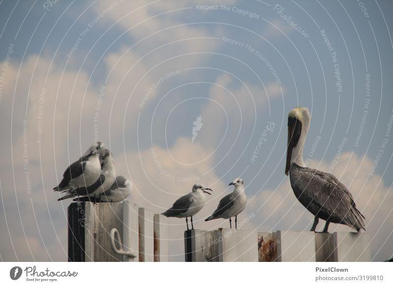 Pelikan und Möven Ferien & Urlaub & Reisen Tourismus Abenteuer Ferne Sommerurlaub Meer Umwelt Natur Landschaft Strand Tier Vogel Flügel Tiergruppe fliegen schön