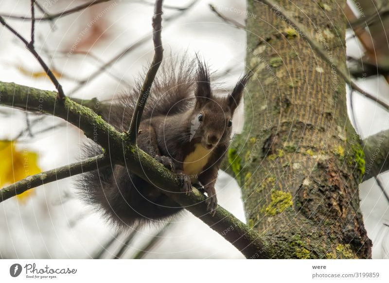 European brown squirrel in summer coat on a branch in the forest Natur 1 Tier weich animal branches copy space cuddly cuddly soft cute european squirrel fur