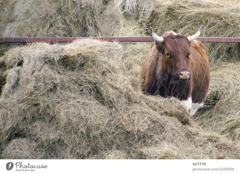 Kuh, rotbunte Landwirtschaft Forstwirtschaft Haustier Nutztier 1 Tier braun grau weiß rot-bunt Heu Fressen Horn Blick Mitte Futter ausreichend Lieblingsplatz
