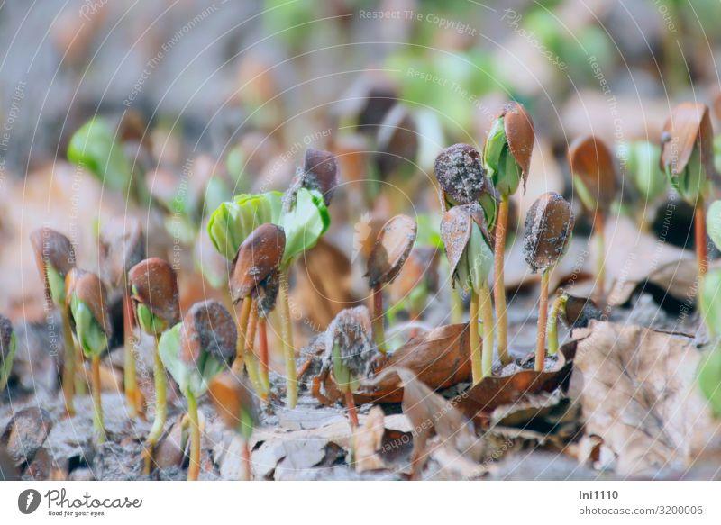 Buchenkeimlinge Natur Erde Frühling Pflanze Blatt Wald braun gelb grau grün Buchecker Trieb Hut Waldboden Blattgrün Usedom Naturerlebnis Kraft Jahreszeiten