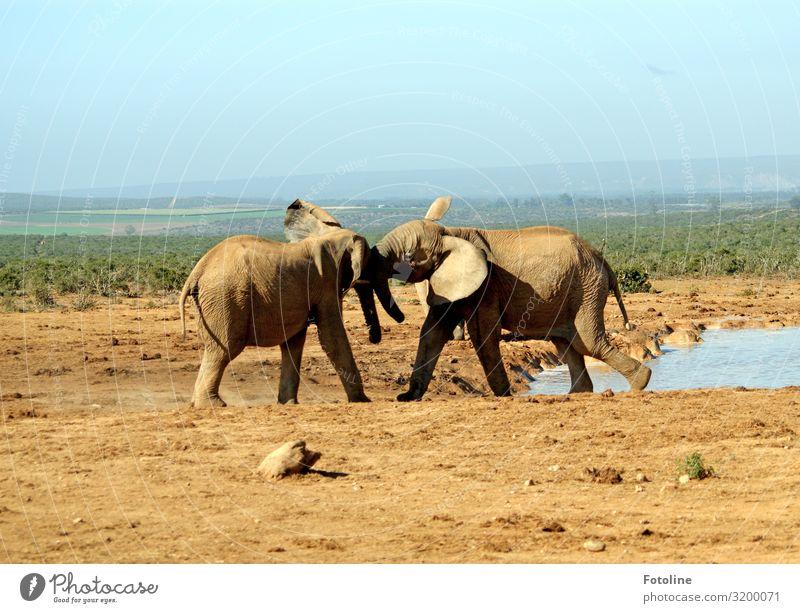 Machtkämpfchen Umwelt Natur Landschaft Pflanze Tier Urelemente Erde Sand Wasser Schönes Wetter Gras Sträucher Wüste Oase Wildtier 2 frei heiß hell Wärme braun
