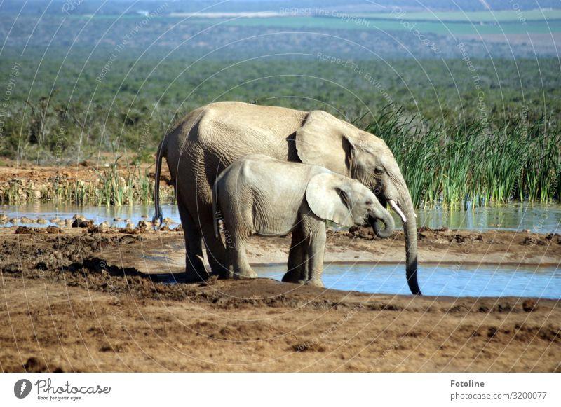 Durst löschen Umwelt Natur Landschaft Pflanze Tier Urelemente Erde Sand Wasser Gras Teich Wüste Oase Wildtier 2 Tierjunges Tierfamilie frei heiß hell natürlich