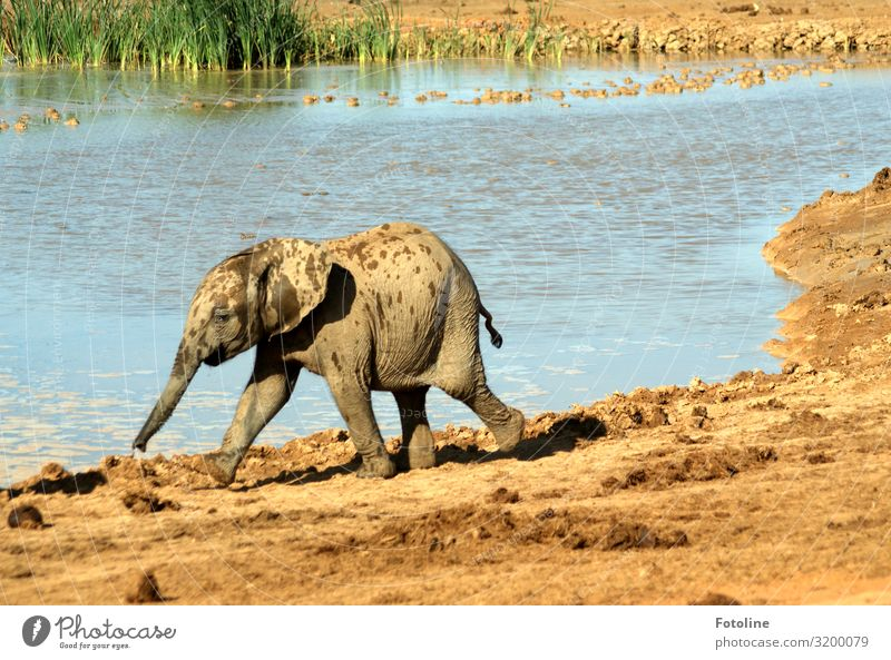 Ausreißer Umwelt Natur Landschaft Pflanze Tier Urelemente Erde Sand Wasser Schönes Wetter Gras Wüste Oase Wildtier 1 Tierjunges frei heiß hell Wärme blau braun