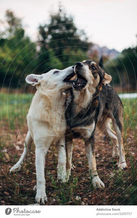 Hunde spielen in der Natur Park beißen Glück Säugetier Haustier Spielen Freude heimisch Tier Freundschaft Gras Eisenbahn springen Junior Außenaufnahme beste