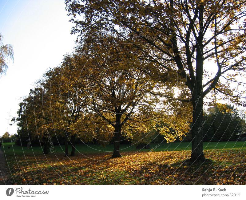Goldener Herbst Baum Sonne Blatt