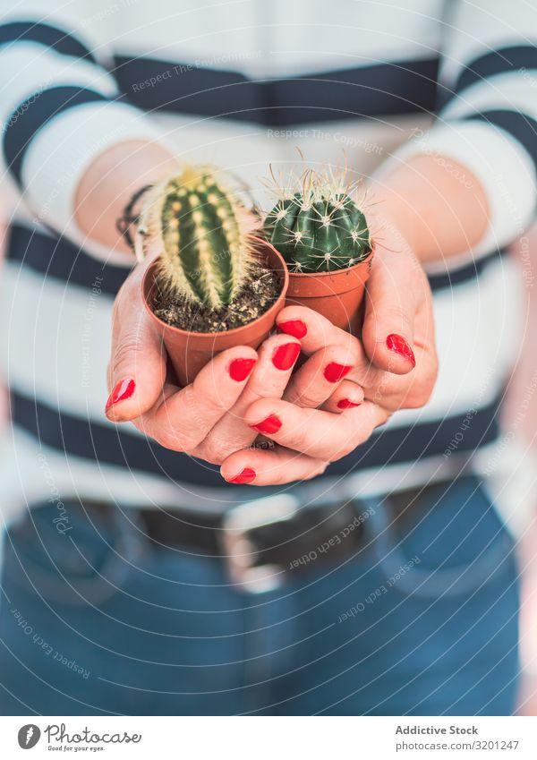 Weibchen mit kleinen Kakteen in den Händen Kaktus Pflanze Hand Frau rot Maniküre Topf Zimmerpflanze stachelig Erwachsene Mensch Halt grün Dorn Sukkulenten