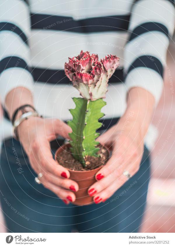Weibliche Hände mit blühender Kaktuspflanze Blume Frau rot weiß Top eingetopft Pflanze grün stachelig schön Überstrahlung Erwachsene Mensch Maniküre Hand