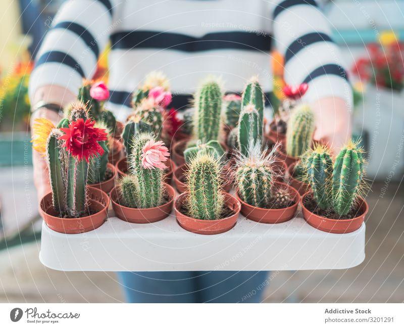 Weiblicher Betrieb Sammlung von grünen Kakteen Kaktus Pflanze Topf Hand Frau stachelig Zimmerpflanze Dorn Überstrahlung Sukkulenten Mensch Halt Freizeit & Hobby
