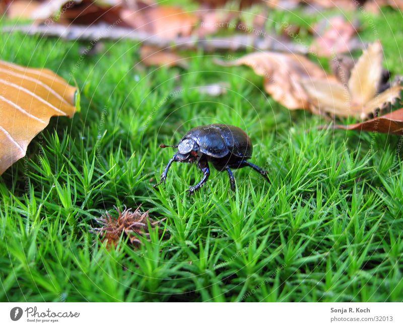 Waldkäfer Blatt Herbst Insekt Käfer