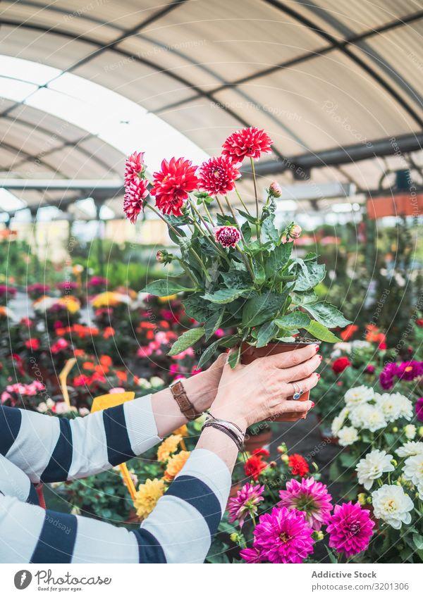 Weibliche Person mit roten Topfblumen auf dem Markt Blume Hand Chrysantheme Überstrahlung Frau Gewächshaus Pflanze Erwachsene Mensch Halt lernen Kunde