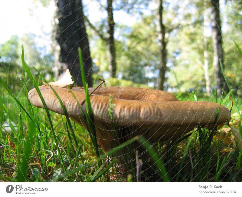 Riesenpilz Wald Herbst Wiese Pilz