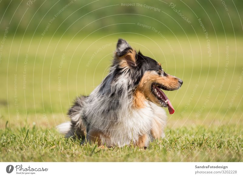 A beautiful Australian Shepherd plays outside in the meadow Sommer Natur Park Tier Hund Liebe Lebensfreude Begeisterung adorable animal animal photography