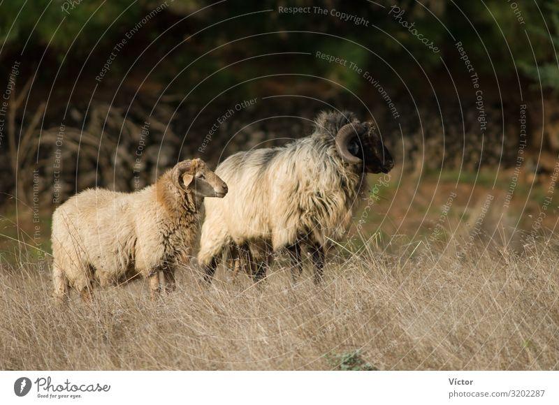 Schafe (Ovis aries). Valverde. El Hierro. Kanarische Inseln. Spanien. Tier Nutztier 2 Tierpaar Natur Tiere Kanaren heimisch domestiziert Fauna Viehbestand