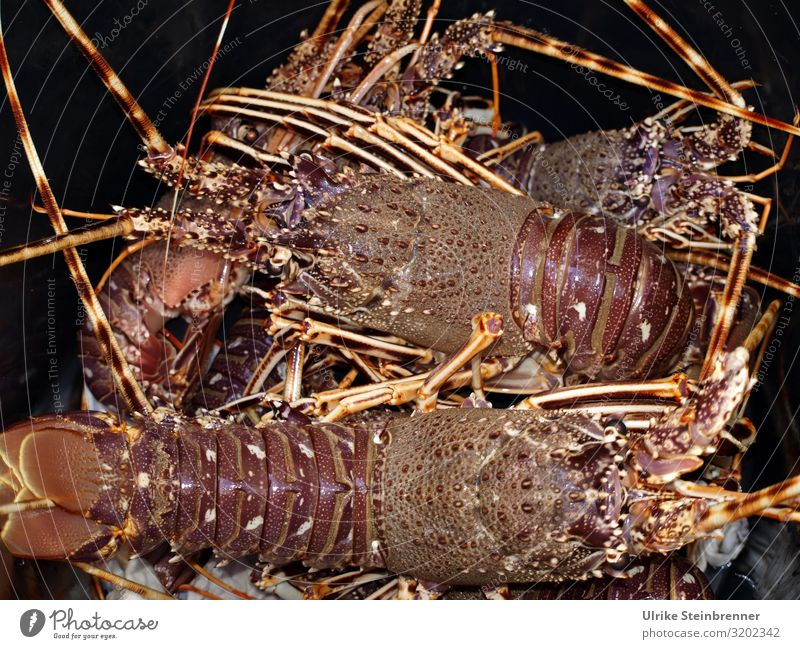 Aragosta Lebensmittel Fisch Meeresfrüchte Hummer Ernährung Italienische Küche Ferien & Urlaub & Reisen Insel Tier Wildtier Tiergruppe atmen fangen krabbeln