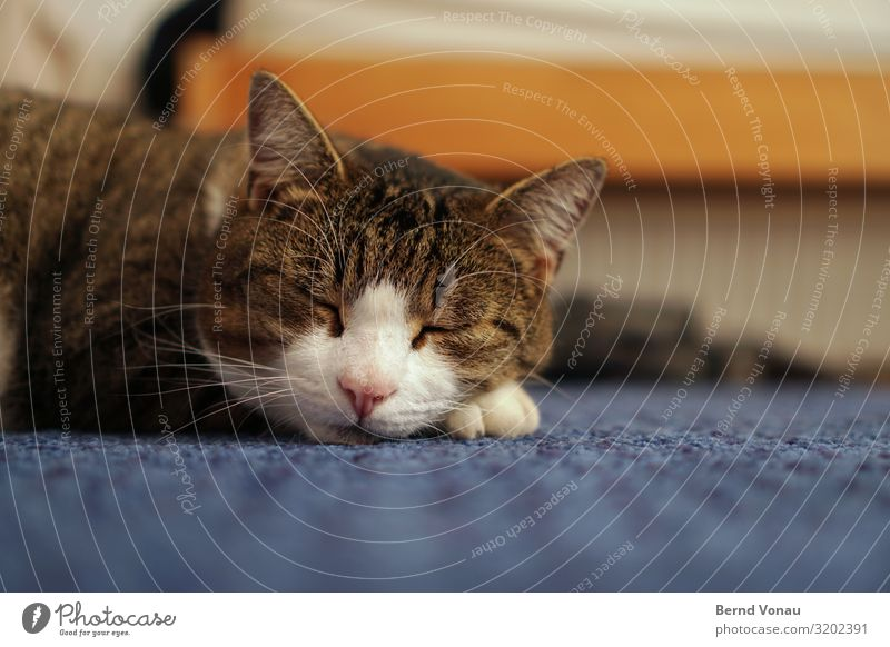 Winterschlafmütze Tier Katze 1 schlafen Idylle Hauskatze Schnurrhaar Ohr Teppich friedlich Pause Nase Fell blau braun Raum Boden niedlich Haustier Farbfoto