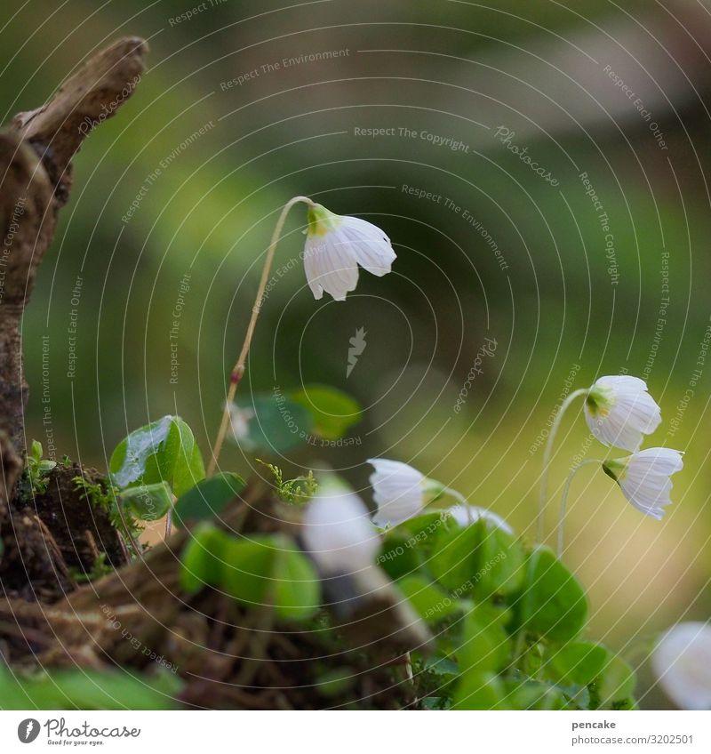 kling glöckchen Natur Pflanze schön weiß Blume Wald Gesundheit Blüte Frühling frisch Wachstum Blühend Urelemente Klimawandel Sauerklee