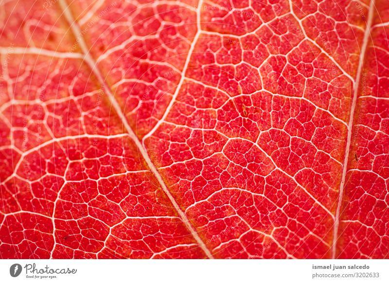 rotes Blatt strukturiert mit Herbstfarben in der Herbstsaison Linie Muster Detailaufnahme Makroaufnahme Venen Einsamkeit Isoliert (Position) Boden Natur