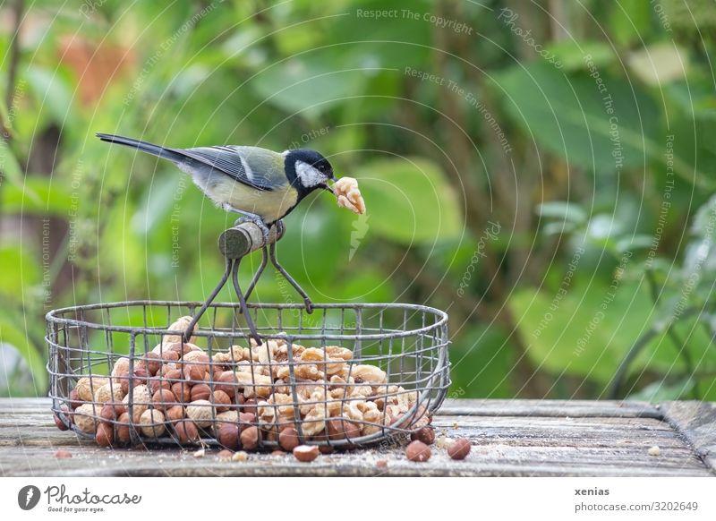 Kohlmeise mit Walnuss im Schnabel hockt auf Drahtkörbchen Haselnuss Nuss Bank Sträucher Garten Tier Wildtier Vogel Meisen 1 füttern hocken braun gelb grün