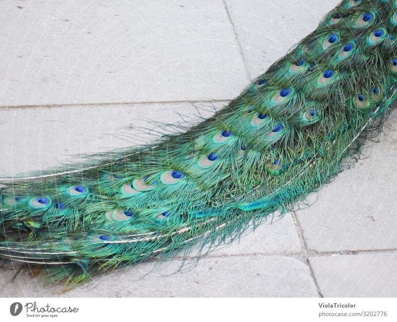 Pfauenaugen Ferien & Urlaub & Reisen Zoo Tier Park Vogel 1 ästhetisch schön blau grün türkis Reichtum Pfauenfeder Feder Schwanz Schleppe elegant schimmern