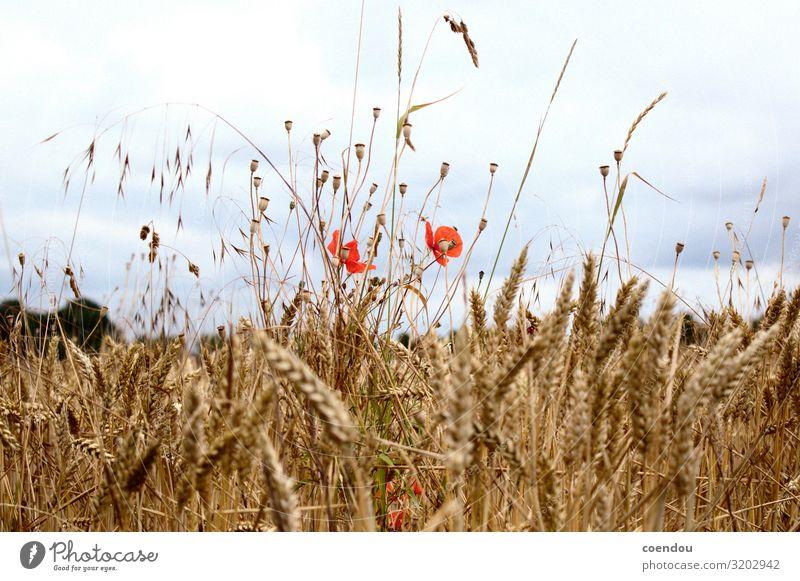 Mohnblumen im Kornfeld vor dunklen Wolken Lebensmittel Ernährung Landleben Erntedankfest Landwirtschaft Forstwirtschaft Umwelt Natur Landschaft Pflanze Blume