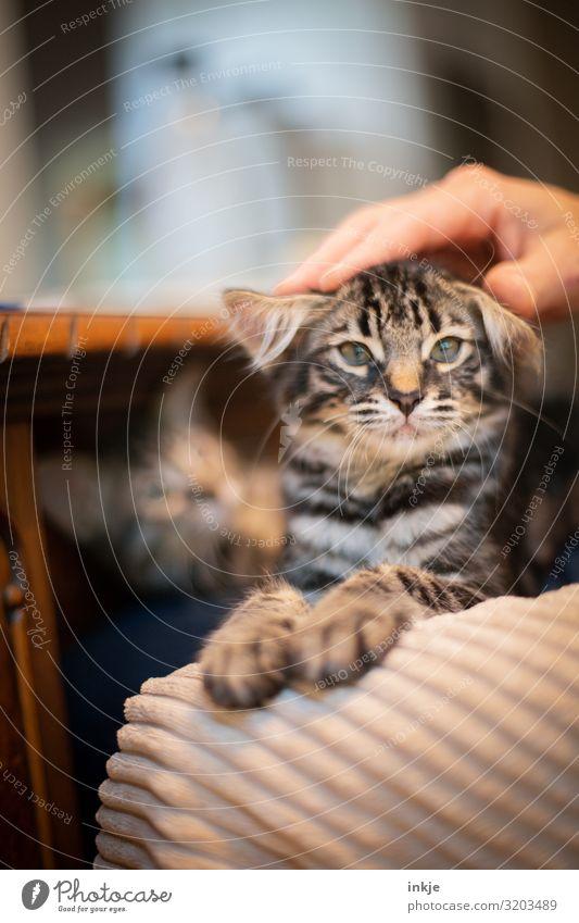 Gremlin Häusliches Leben Hand 1 Mensch Haustier Katze Tiergesicht Katzenbaby Tierjunges Blick klein lustig nerdig niedlich Warmherzigkeit Tierliebe Streicheln