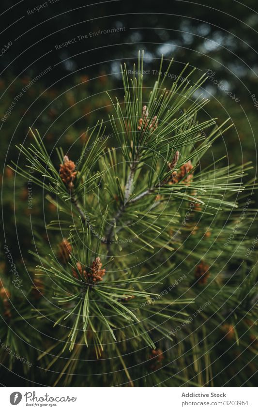 Zweig eines Nadelbaums nadelhaltig Wald Fichte Baum Ast Immergrün Sommer Tanne Natur Kiefer wild weich Pflanze Jahreszeiten natürlich frisch Sträucher Wachstum