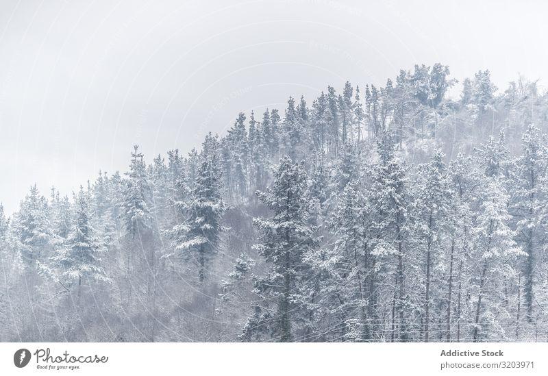 Ruhiges, verschneites Berggelände mit Wäldern Schneesturm Berge u. Gebirge nadelhaltig Wald Dunst unsichtbar Natur Landschaft Tanne Jahreszeiten stumm Umwelt