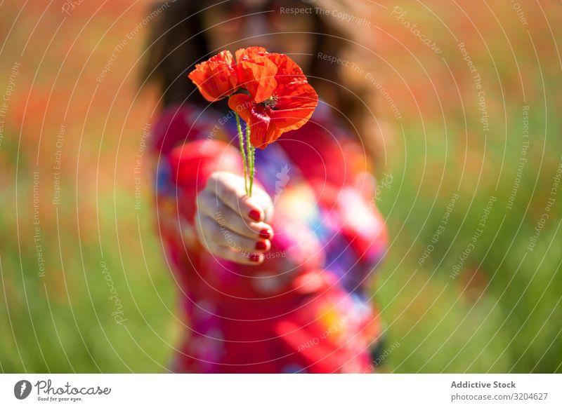 Verschwommene Frau schenkt der Kamera eine Blume Mohn Mohnblumen Geben Feld Sommer Sonnenstrahlen Tag Lifestyle Freizeit & Hobby Blüte rot Blütenblatt Wiese