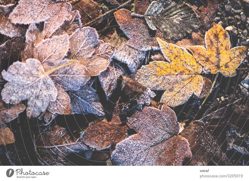 Langsam wird´s kalt Natur Herbst Eis Frost Blatt Wald Alpen frieren liegen authentisch Zusammensein natürlich trocken braun gelb Stimmung Coolness ruhig