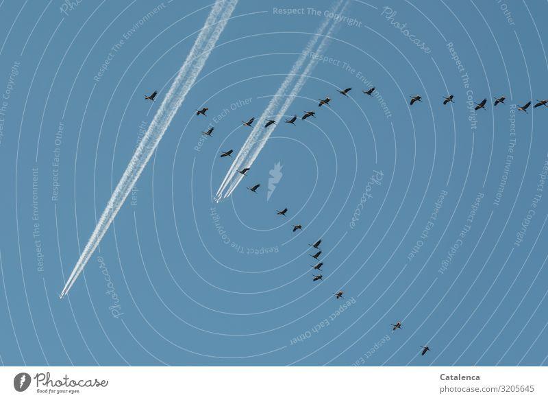 Flugverkehr Winter Umwelt Tier Luft Himmel nur Himmel Schönes Wetter Luftverkehr Flugzeug Passagierflugzeug Vogel Zugvogel Kranich Schwarm Kondensstreifen