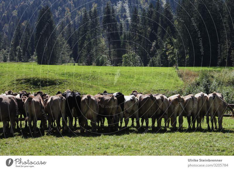 Methan vom Fließband Umwelt Natur Landschaft Pflanze Herbst Gras Wiese Alpen Berge u. Gebirge Tier Nutztier Kuh Tiergruppe Herde stehen warten Zusammensein Team
