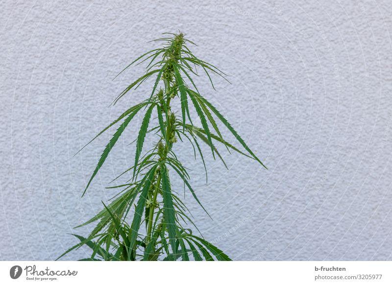 Hanfpflanze Sommer Pflanze Wachstum Alternativmedizin Grünpflanze Cannabis Cannabisblatt