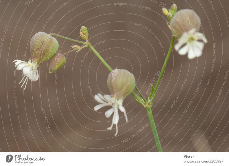 Blüten der Blasenkampionblume (Silene vulgaris). Valverde. El Hierro. Kanarische Inseln. Spanien. Natur Pflanze Blume Blühend natürlich wild Biodiversität