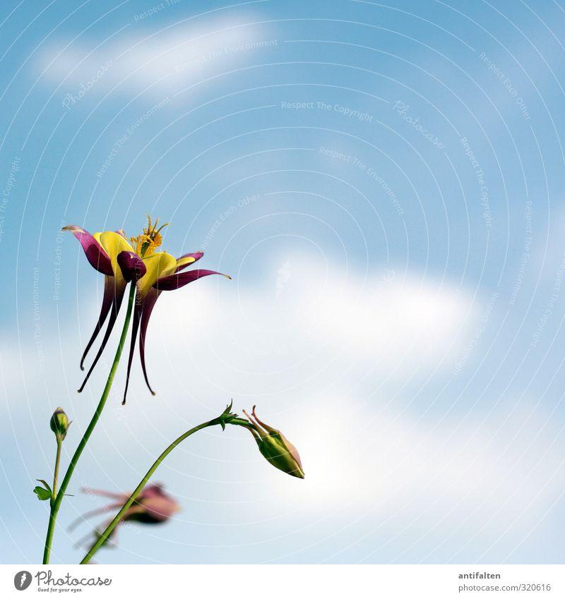 Akelei Natur Pflanze Himmel Wolken Frühling Sommer Schönes Wetter Wind Blume Blatt Blüte Garten Park frei Fröhlichkeit schön blau mehrfarbig gelb grün violett