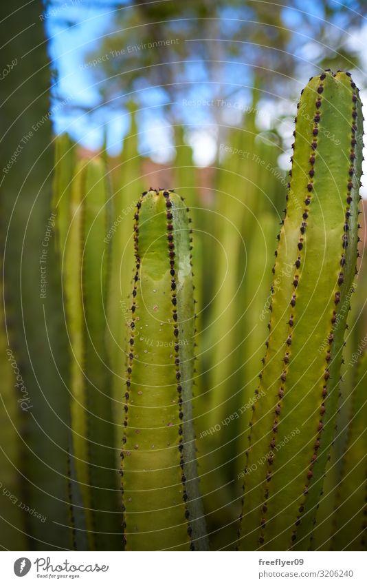 Detail eines grünen Kaktus mit mehr von ihnen im Hintergrund Design exotisch schön Leben Garten Dekoration & Verzierung Natur Pflanze Sand Blume Blatt