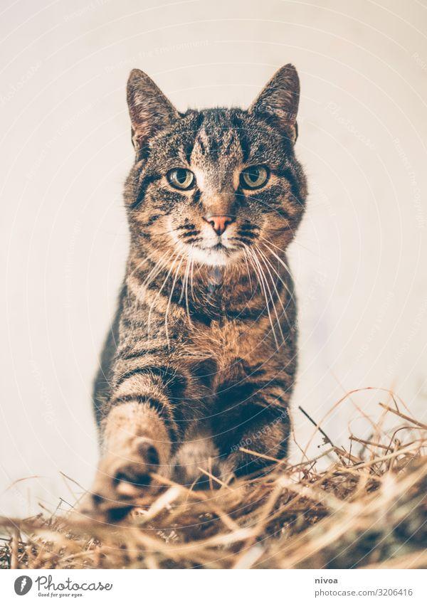 getigerte Stallkatze Spielen Natur Tier Haustier Katze Tiergesicht Fell Krallen Pfote Fährte 1 Stroh Strohhaufen Bewegung entdecken Fressen leuchten Liebe