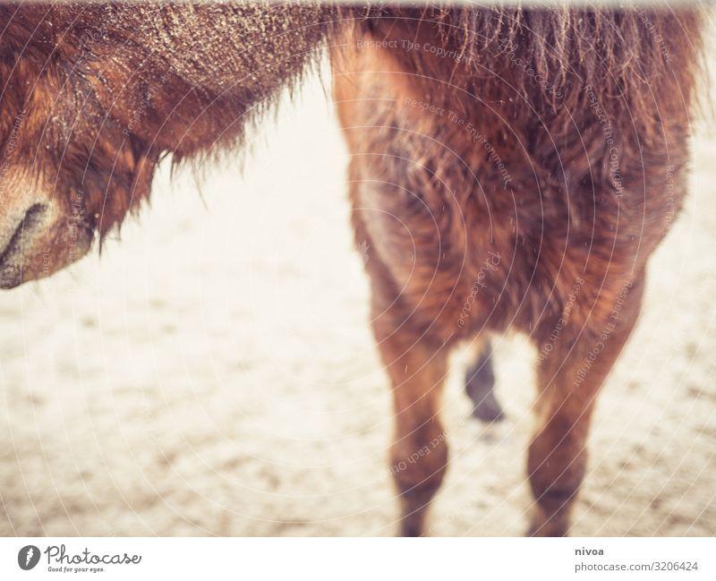 Islandpferd Wohlgefühl Reiten Natur Herbst Wetter Platz Pferd Island Ponys 1 Tier Fressen Kommunizieren Blick stehen frech frei Freundlichkeit Fröhlichkeit
